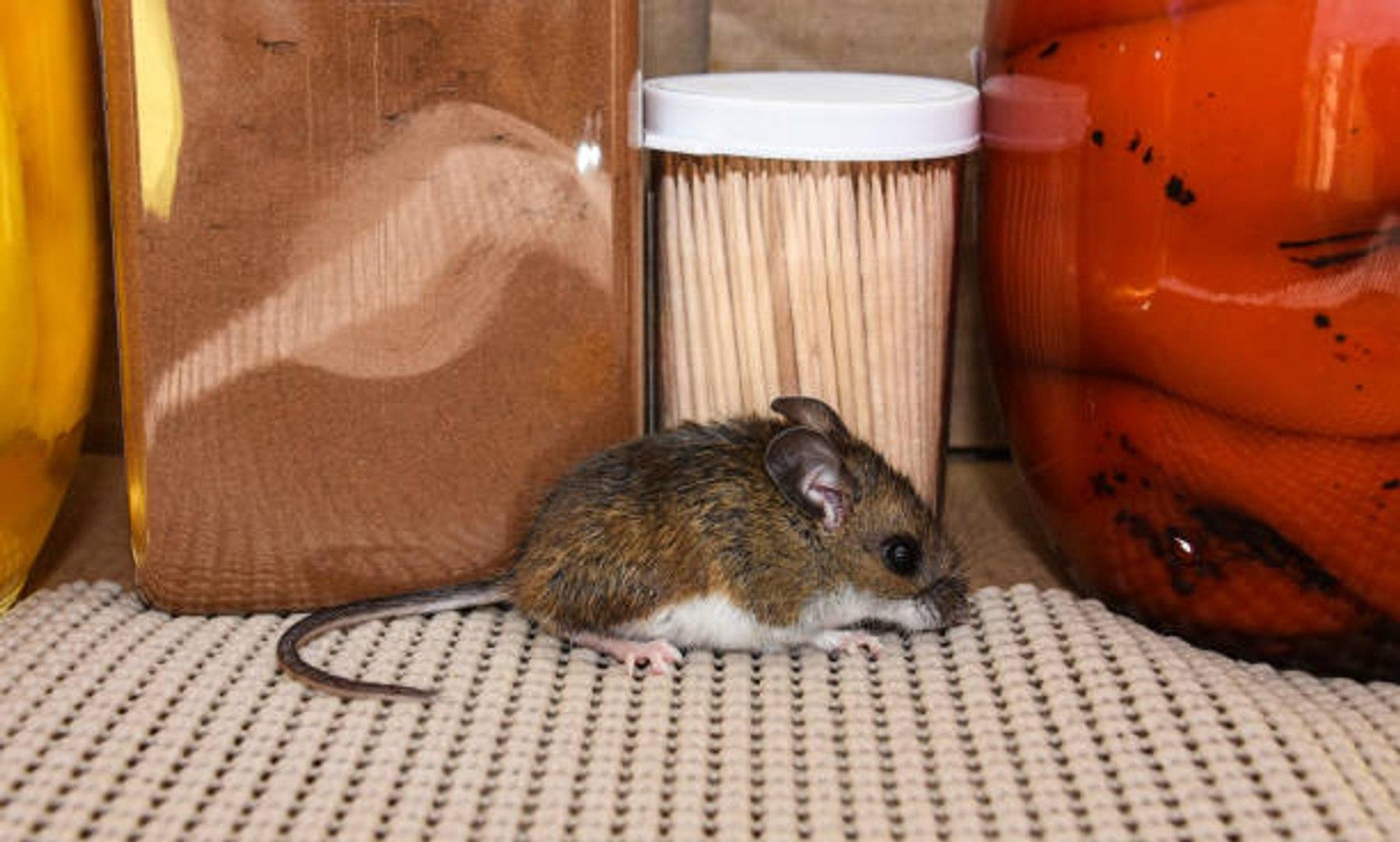 Huiles Essentielles Contre Les Souris 6 astuces naturelles pour se débarrasser des souris
