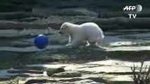 Berlin-born polar bear cub named after football club Hertha