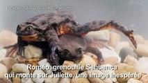 Des amphibiens d'une espèce en danger se sont mis en couple