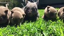 Voici George le bébé wombat... adorable
