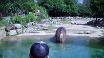 Hippopotame lâche « le plus gros pet au monde »