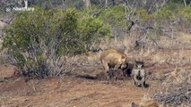 'Laughing' hyenas attempt to steal a pride of Lions' kill