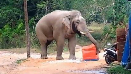 Hungry Elephant Raids Tourists' Cooler