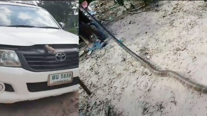 Woman Finds Cobra Under Truck's Hood