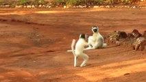 Ces petits singes sifakas qui courent sont tellement drôles.