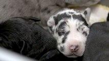 Une chienne dogue allemand donne naissance à 19 chiots