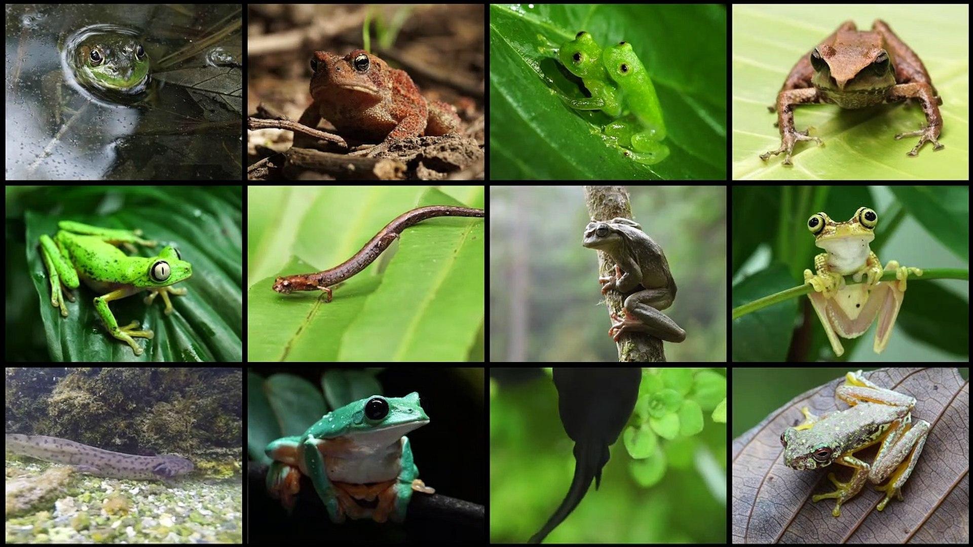 El hongo que mata a 500 especies de anfibios - Vídeo Dailymotion