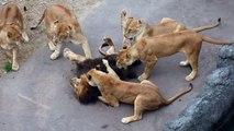 Ces lionnes montrent au lion qui est le patron