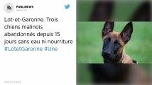 Lot-et-Garonne. Trois chiens malinois abandonnés depuis 15 jours sans eau ni nourriture