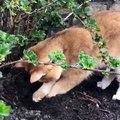 Ce chat est à la recherche d'un trésor enfoui dans le jardin. Surprenant !