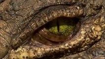 Il filme l'oeil de ce crocodile de près et c'est magnifique