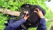 Ce bébé gorille est très chatouilleux... Trop mignon