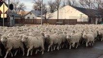 Regarder des centaines de moutons, peut vous faire dormir