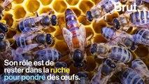 Comment une ruche d'abeilles s'organise-t-elle ?