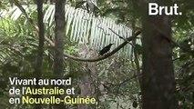 Le paradisier gorge-d'acier, un oiseau très séducteur