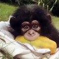 Le regard de ce jeune chimpanzé est tout simplement captivant. Admirez !