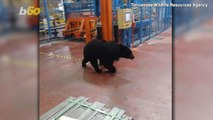 Factory Frolic! Bear Captured & Relocated After Wandering Into Tennessee Manufacturing Plant!