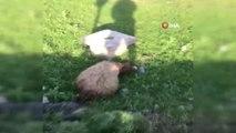 Lüks Cip Koyun Sürüsünün Arasına Daldı: 18 Hayvan Telef Oldu