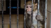 In Ethical Nightmare Scientists Add Human Genes to Monkeys' Brains
