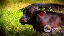 Consecuencias del estrés en animales de carne