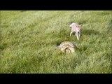Un renard vient en aide à son ami attrapé par un python