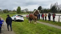 Un cheval de trait sort une voiture du fossé (Lamballe)