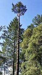Un élagueur se fait une belle frayeur au sommet d'un arbre