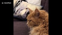 Big ginger Maine Coon cat wakes up from nightmare then goes back to sleep