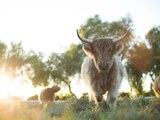 The Biggest Little Farm: Trailer HD VO st FR/NL