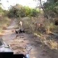 Le ratel n'a peur de rien. Regardez comment il fait fuir une lionne !