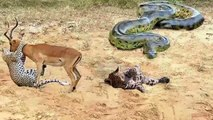 Wild animal fight| Python eat baby leopard while his mother hunt Impala - Buffalo vs Elephant,Baboon
