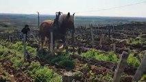 Vielverge : elle laboure les vignes comme aux temps anciens
