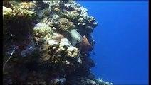 Requins, les nettoyeurs du lagon - Documentaire animalier