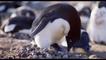 DisneyNature's 'Penguins': Sharing Duties