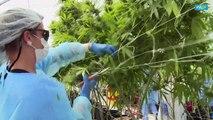 Uruguay prepares for first exportation of medicinal marijuana