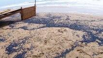 LE CAP D'AGDE - Echouages massifs de vélelles sur les plages du littoral