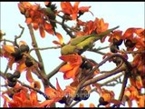 Rose-ringed Parakeet eats petals of a Sehmal or Silk Cotton tree