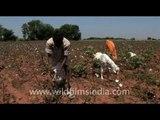 Cotton fields in Udaipur