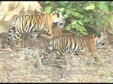 Tigers and their cubs roam the forest of Kanha Park!