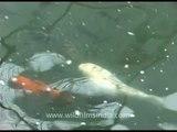 Fish tank with Koi Carp in Malaysia