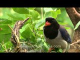 Red-billed Blue Magpie with its offspring at nest