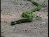 Green keelback snake in Panna National Park