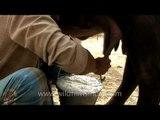 Man milking buffalo, Sonepur
