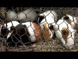 Guinea pigs for sale at Sonepur Mela, India