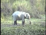 Elephant feeding on water hyacinth in Kaziranga National Park