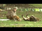 Prankster babies of Macaques play with the mumma