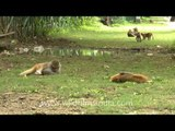 Macaques lazying around on a fine day!