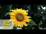 Sunflower that follows every movement of the Sun
