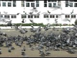 Feeding Pigeons outside Jama Mosque in Srinagar