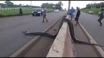 Des brésiliens aident un énorme anaconda à traverser une autoroute